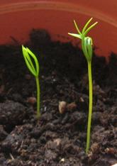 росток елки
